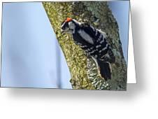 Downy Woodpecker - Male Greeting Card