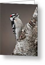 Downy Woodpecker Pictures 11 Greeting Card