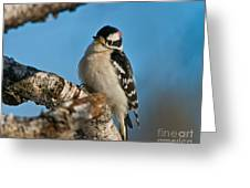 Downy Woodpecker Pictures 23 Greeting Card