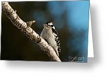 Downy Woodpecker Pictures 25 Greeting Card