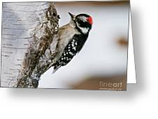 Downy Woodpecker Pictures 26 Greeting Card