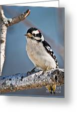Downy Woodpecker Pictures 39 Greeting Card