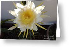 Dragon Fruit Bloom In The Morning Greeting Card