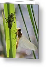 Dragonfly Metamorphosis - Seventh In Series Greeting Card