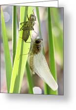 Dragonfly Metamorphosis - Sixth In Series Greeting Card
