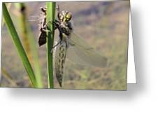 Dragonfly Newly Emerged - First In Series Greeting Card