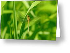 Dragonfly On A Grass Stem Greeting Card