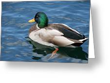 Green Headed Mallard Duck Greeting Card