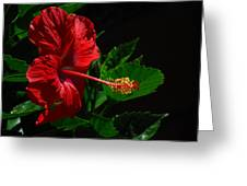 Dramatic Red Hibiscus Greeting Card