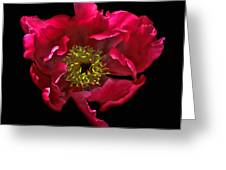 Dramatic Red Peony Flower Greeting Card