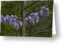 Draping Wisteria Frutescens Wildflower Vines Greeting Card