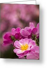 Pink Old Fashioned Rose Greeting Card