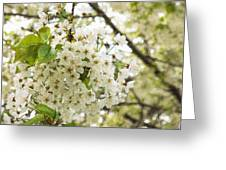 Dreamy White Cherry Blossoms - Impressions Of Spring Greeting Card