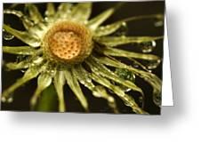 Dried Dandelion After Rain Greeting Card by Iris Richardson