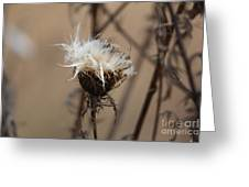 Dried Milk Thistle  Greeting Card