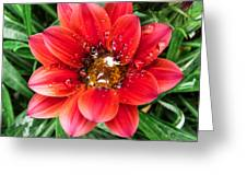 Drops On Gazania Greeting Card