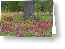 Drummonds Phlox And Crown Tickweed Central Texas Greeting Card