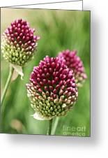 Drumstick Allium Greeting Card