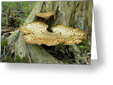Dryads Saddle Bracket Fungi - Polyporus Squamosus Greeting Card