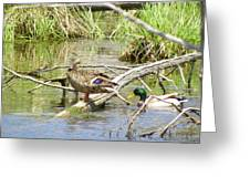Duck And Drake Greeting Card