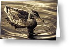 Duck In Grey Shades V A Greeting Card