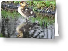 Duckling With Reflection Greeting Card