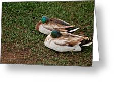 Ducks At Rest Greeting Card