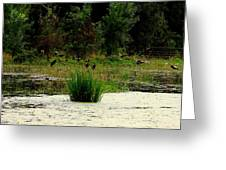 Ducks Landing Greeting Card