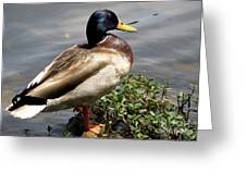 Ducky Duck Greeting Card