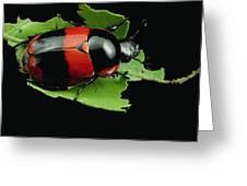 Dung Beetle Panama Greeting Card