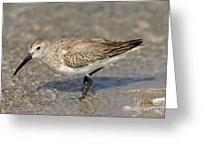 Dunlin Calidris Alpina In Winter Plumage Greeting Card