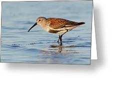 Dunlin Greeting Card