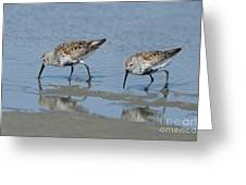 Dunlins Greeting Card