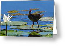 Dusky Moorhen Admiring The Water Lilies Greeting Card