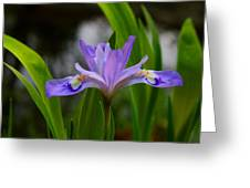 Dwarf Crested Iris Greeting Card