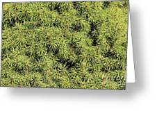 Dwarf Evergreen Greeting Card