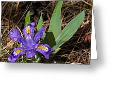Dwarf Lake Iris Greeting Card