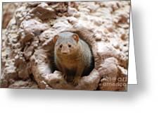 Dwarf Mongoose  Greeting Card