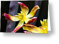 Dying Tulip Greeting Card