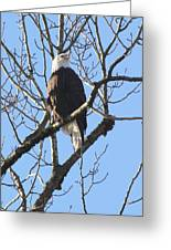 Bald Eagle Sunny Perch Greeting Card