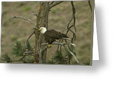 Eagle On A Tree Branch Greeting Card