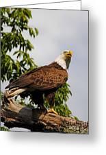 Eagle Portrait IIi Greeting Card
