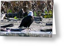 Eagle Posing By Water Greeting Card