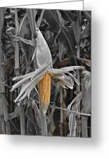 Ear Of Corn Greeting Card