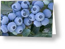 Early Blue Blueberries Greeting Card