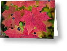 Early Fall Of Norway Maple Greeting Card