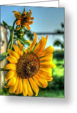 Early Morning Sunflower Greeting Card