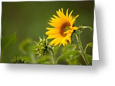 Early Morning Sunflowers Greeting Card