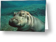 East African River Hippopotamus Baby Greeting Card