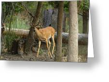 East Texas Whitetail  Greeting Card